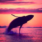 crimson-flight-humpback-whale-1280x960_1_large